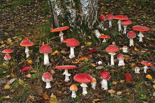 amanita-muscaria-mushrooms