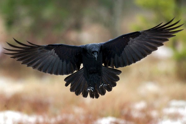 delightful-flying-raven