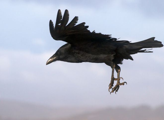 raven-in-flight