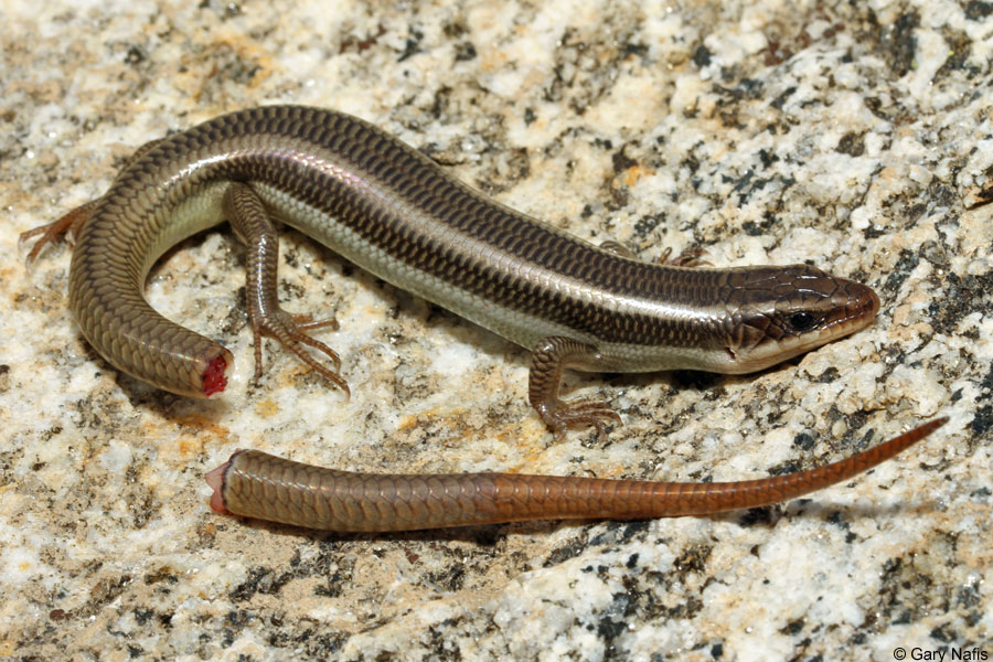 sub-adult-red-tailed-skink