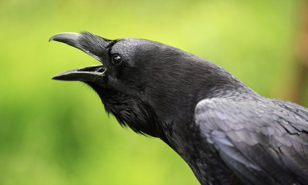 ravens-can-recognize-old-friends